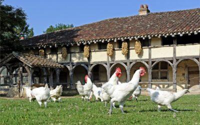 Il galletto della Borgogna
